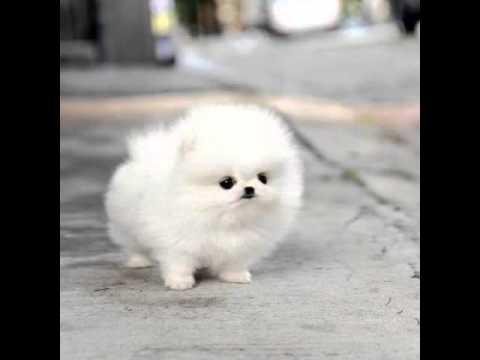 כלב פרוותי וקטן