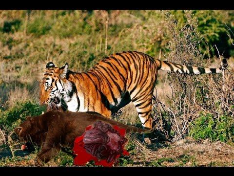 Harimau Vs Beruang Hitam - Pertarungan Binatang Buas Sampai Mati