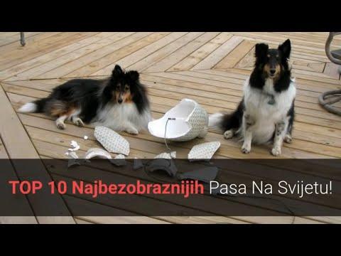 🐕 Najbezobrazniji Psi – Top 10 Najbezobraznijih Pasmina Pasa Na Svijetu!