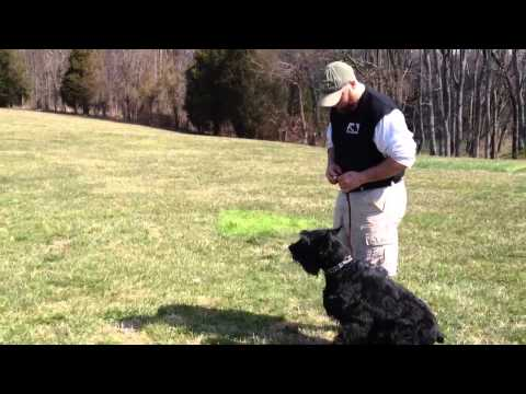 Giant Schnauzer 'Colt' For Sale Personal Protection Home Protection Guard Dog Obedience