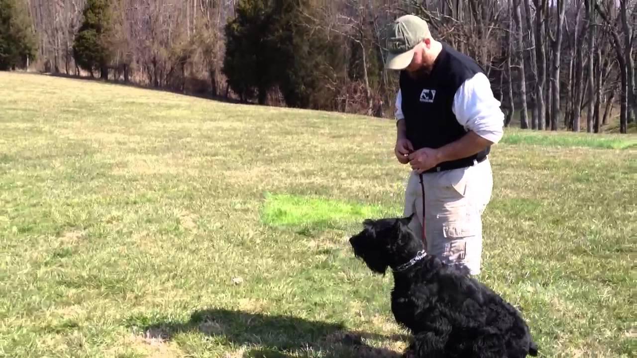 Giant Schnauzer Quot Colt Quot For Sale Personal Protection Home