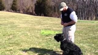 "Giant Schnauzer ""colt"" For Sale Personal Protection Home Protection Guard Dog Obedience"