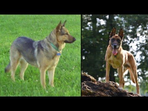 German Shepherd VS Belgian Malinois Comparison