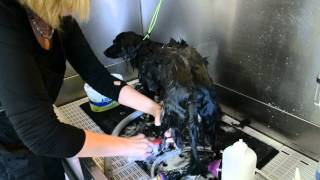 Bathing A Longhaired Dachshund With The Yuppy Puppy Bath Brush
