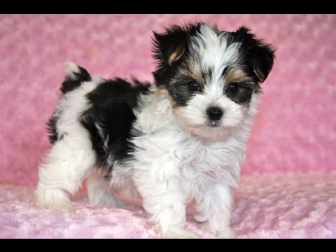 Morkie Dog breed giving birth and playing puppies