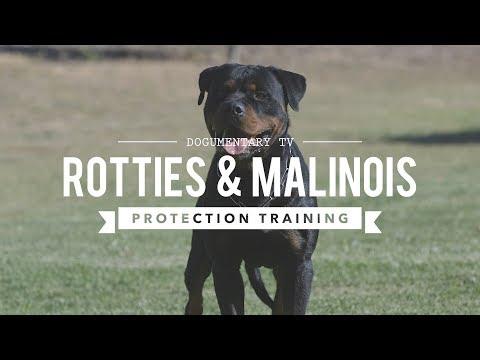 ROTTWEILER VERSUS BELGIAN MALINOIS PROTECTION TRAINING