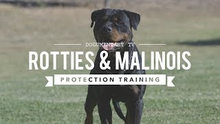ROTTWEILER VERSUS BELGIAN MALINOIS PROTECTION TRAINING