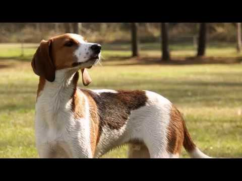 Treeing Walker Coonhound - medium size dog breed