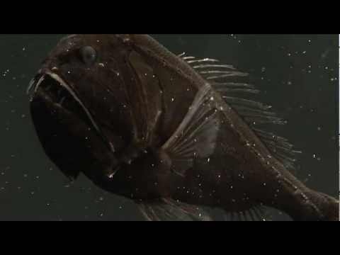 Fish With Monster Teeth  -  The Fangtooth