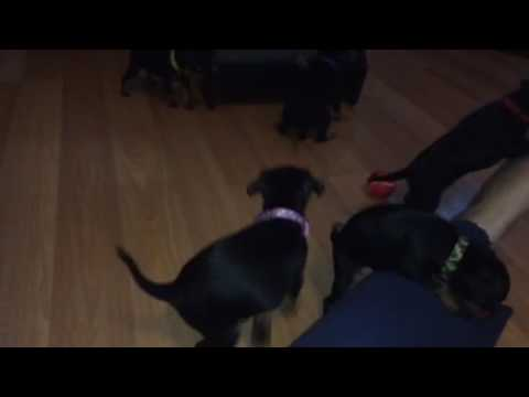 4 week old Toy Manchester Terrier puppies
