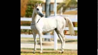 Арабские скакуны.(Видео про лошадей породы: Арабская чистокровная Моя партнерская программа VSP Group. Подключайся! https://youpartnerws..., 2015-05-12T09:59:46.000Z)