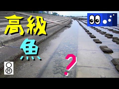 �水辺潜入】護岸ブロック�潮��り�����高級魚???
