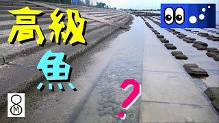 【水辺潜入】護岸ブロックの潮だまりにまさかの高級魚???