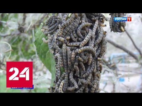 Сразу несколько регионов Сибири атаковали прожорливые гусеницы - Россия 24