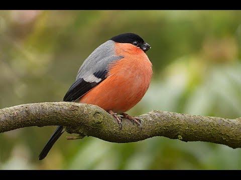 Amazing Natural Bird Sounds | Bird Ringtones