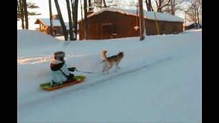 Siberian Husky Shelby pulls a Sled January 2009 St. Bernard Moonshine