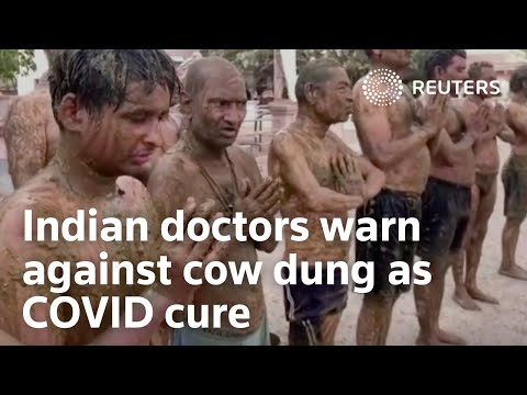 Indian doctors warn against cow dung as COVID cure