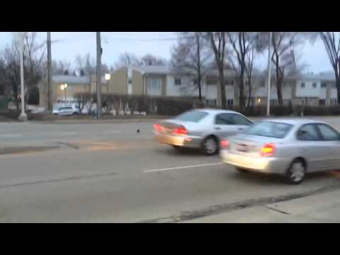 Giant rat stops traffic in Chicago