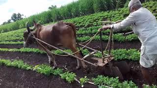 सांगाव चे शेतकरी राऊ माली वय 86 हे एक बैल शेती करतात