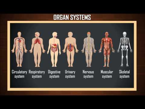 """organ systems"" in human body"