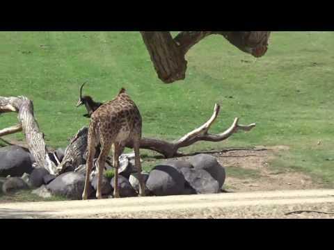 San Diego Zoo Safari Park - African Tram Tour