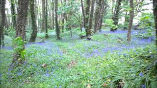 Cardigan Welsh Corgi Running Among The Bluebells