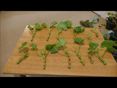 Taking Pelargonium Cuttings (Zonal And Ivy Leaved Geranium)