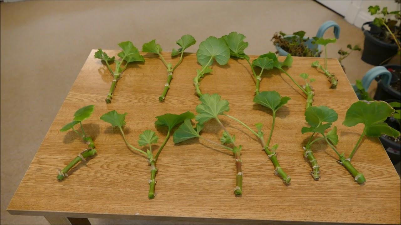 Taking Pelargonium Cuttings Zonal And Ivy Leaved Geranium