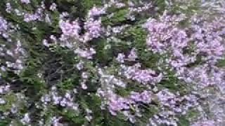 видео Трава тархун - польза и вред, красочные фото