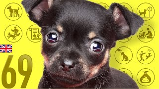 Toy Manchester Terrier❤Cute and Funny Dog breed videos