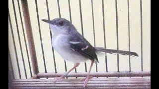 Download Video Burung Ciblek untuk Memancing Kacer agar Gacor MP3 3GP MP4