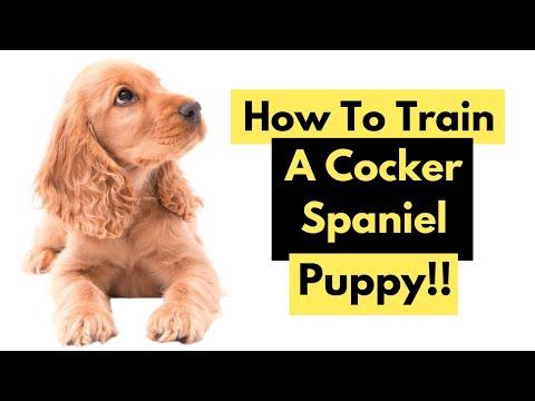 How To Train A Cocker Spaniel  Training A Cocker Spaniel Puppy