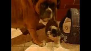 Dogs Funny Boxer Shih Tzu Lol Dogs Fight :d Xd :) ;)