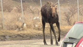 Moose Tranquilized in Calgary