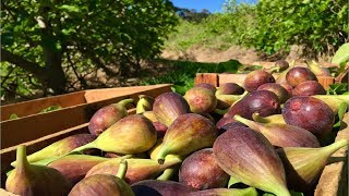 Japan Fig Farm and Harvest - Giant Fig Cultivation Technology