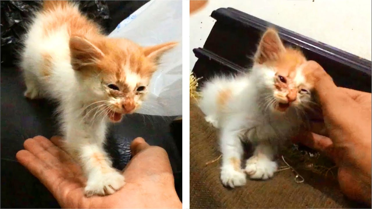 Scared Kitten Meowing Loud To Me For Protection When Cats Fight, Was 1st Week After Rescue