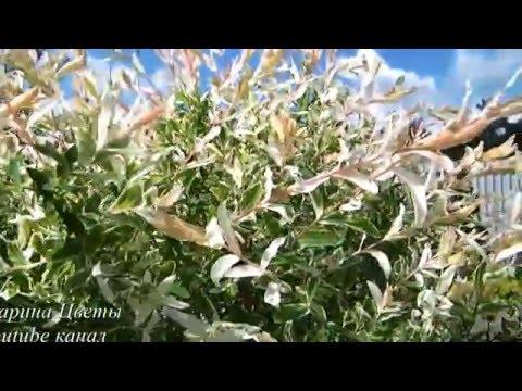ИВА ШТАМБОВАЯ ХАКУРО НИШИКИ - посадка, выращивание, уход, обрезка, болезни