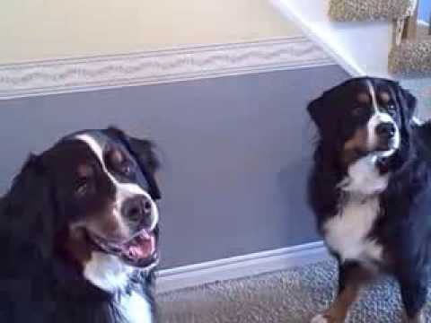 Bernese Mountain dogs want their walk