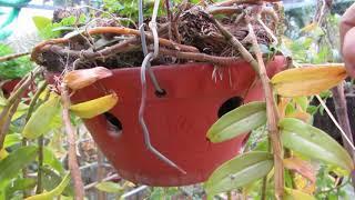 phi điệp trồng chậu tập 6. mái che và nước tưới / phong lan