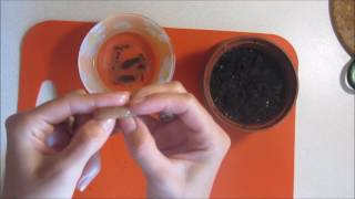 Высадка семян делоникса королевского  -  3