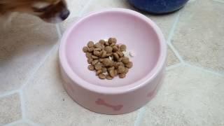 Правильное питание чихуахуа