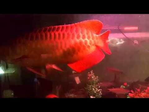 ปลามังกรแดงพาฝันฝัน บังแระ