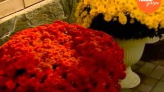 Татьяна Леонтьева рассказывает о выращивании хризантемы мультифлоры