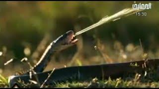 أفعى الكوبرا تهزم صقر دون أن تلمسه