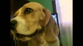 Perro Beagle En Dubsmash - Dog Talking