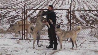"""Soğuk hava ve kar """"Sivas kangalı""""nı sevindirdi - SİVAS"""
