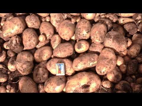 Вопрос: Какой урожай картофеля с сотки?