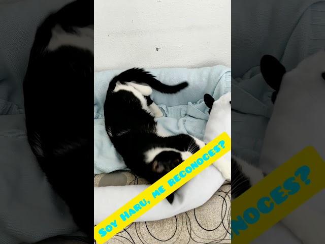 Haru, creemos que se ha perdido. Gato muy casero y mimoso. Lo reconoces?