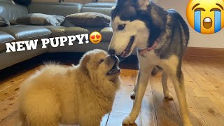 Husky Puppy Meets New Chow Chow Puppies For The First Time!! [CUTEST REACTION!]