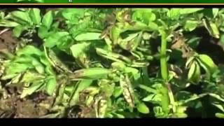 आलू की फसल में होने वाले रोगों पर देंगे जानकारी